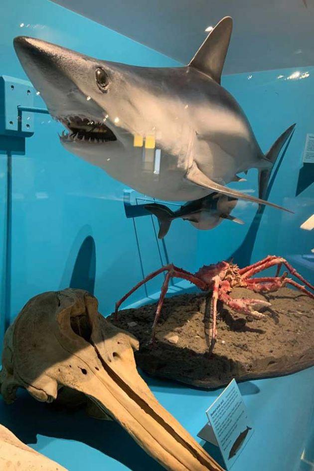 Shark display at South Canterbury Museum